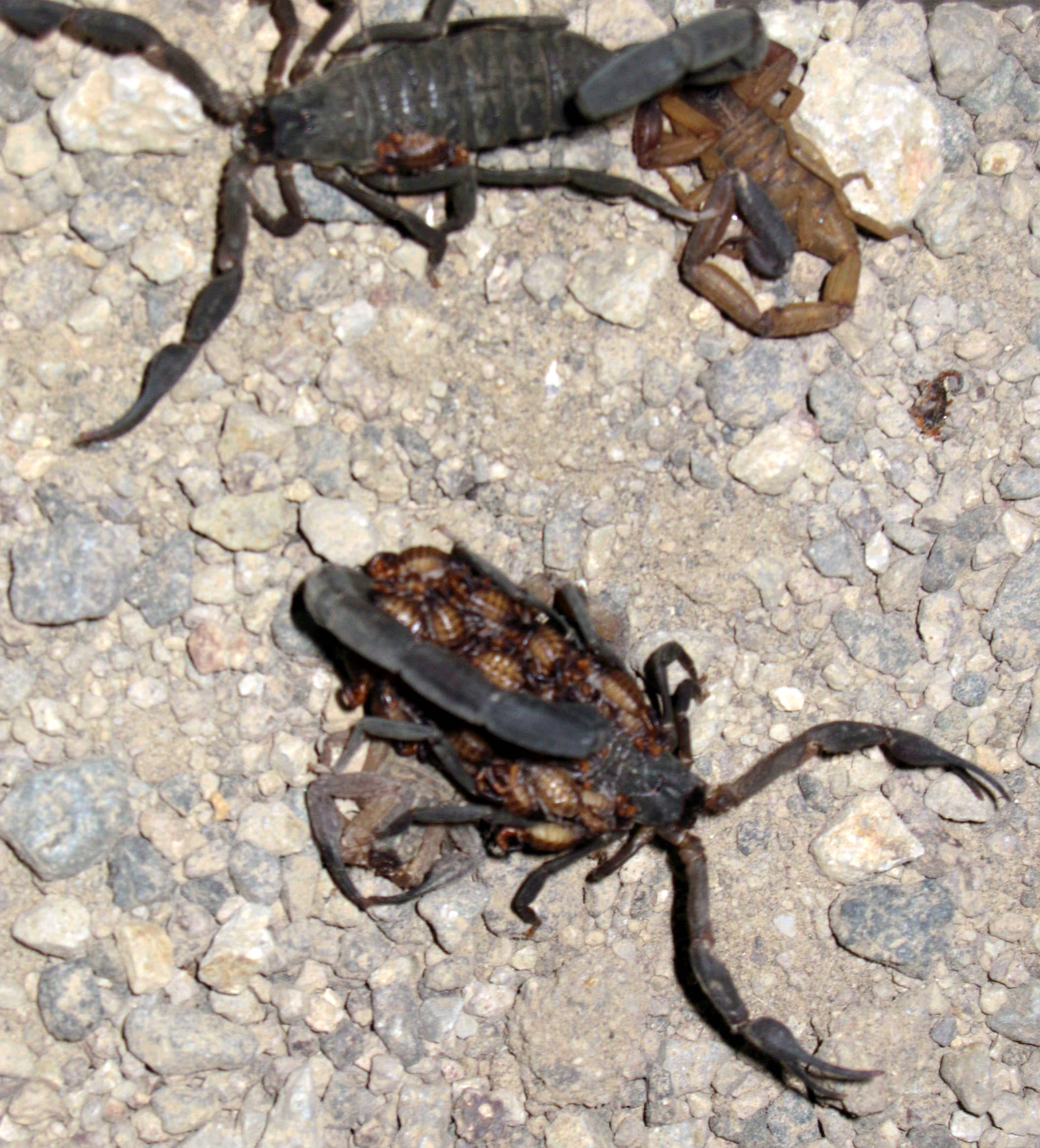 Baby Love: Scorpion Motherhood and Family Values | Todos