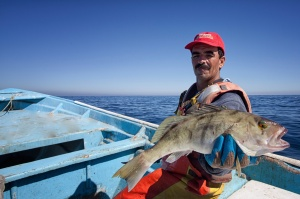Porfirio Zuñiga displaying a hand-caught sand bass, which he will despatch, bleed and put directly on ice to ensure its freshness Photo © Carlos Aguilar - SmartFish