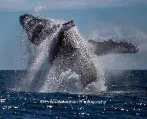 Humpback Happiness. Photo by Erika Peterman