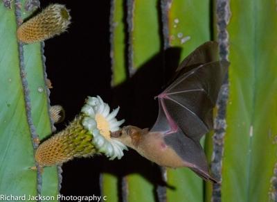 Lesser long-nosed bat. Photo by Rick Jackson