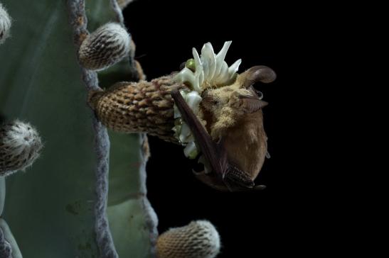 Pallid Bat on Cardon Flower. Photo by Merlin Tuttle. http://merlintuttle.org