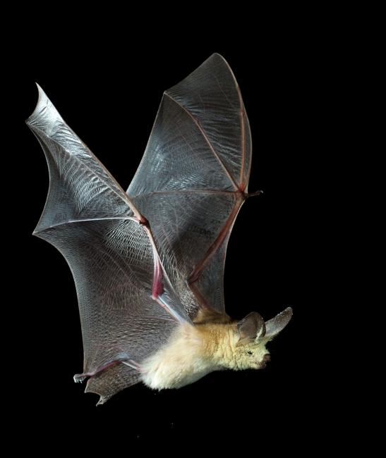 Pallid bat photo by Merlin  Tuttle