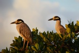 Yellow-crowned Night Herons in Mangroves by Kaia Thomson