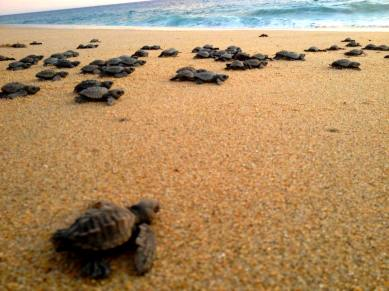 Hatchlings to the Sea!